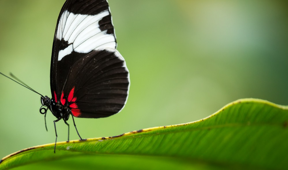 Butterfly sitting on green Leaf